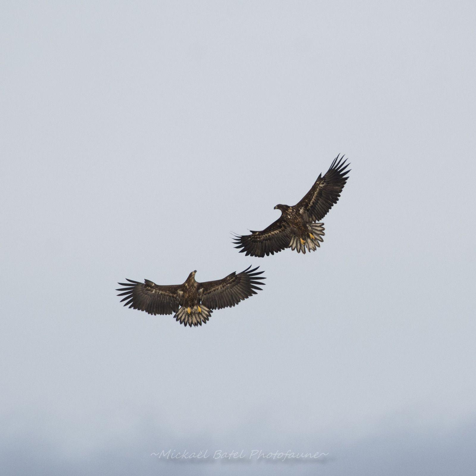 Les deux pygargues à queue blanche du parc du Marquenterre (Mickael Batel)