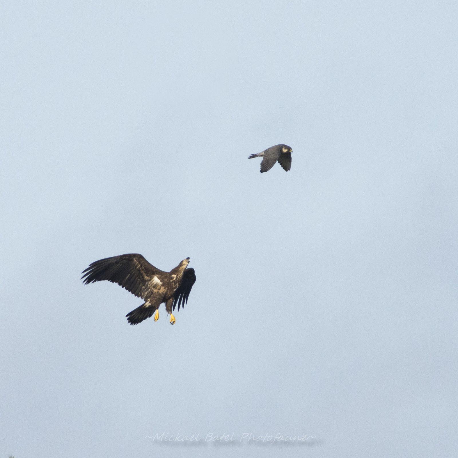 Pygargue à queue blanche et Faucon pélerin au parc du Marquenterre (Mickael Batel)