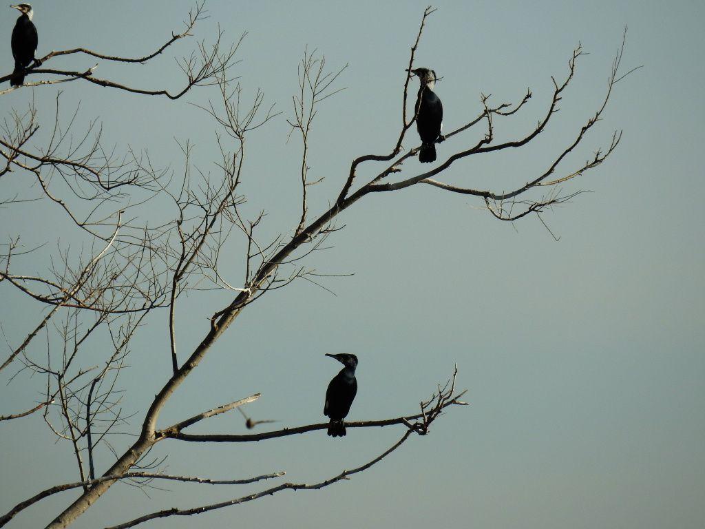 les grands cormorans et le goéland leucophée