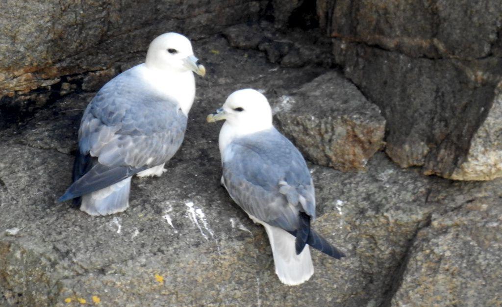 Couple de fulmars sur la plateforme qui leur servira de nid