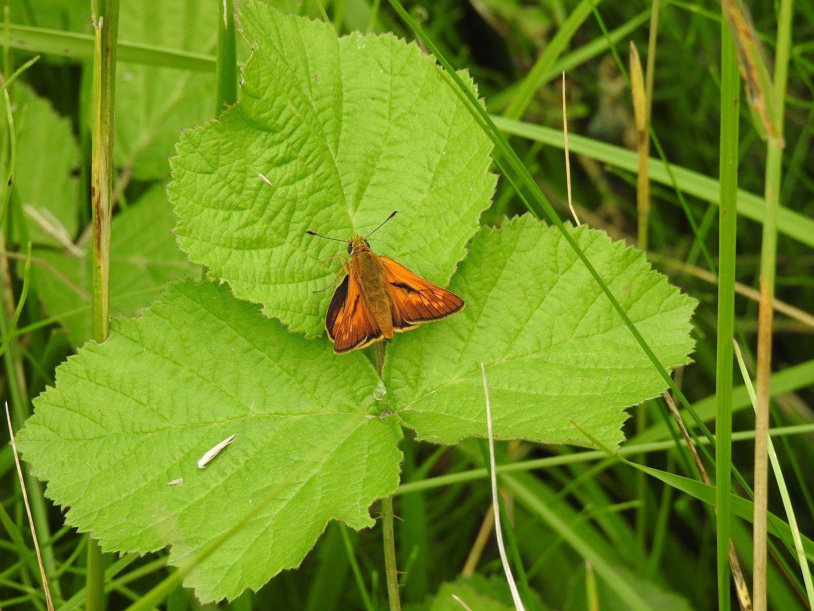 Hespérie du dactyle. Thymelicus lineola.