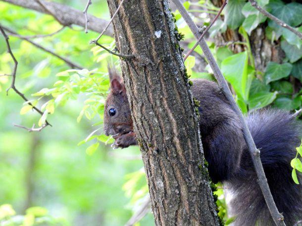 L'écureuil qui vient récupéré les noix de l'an dernier.