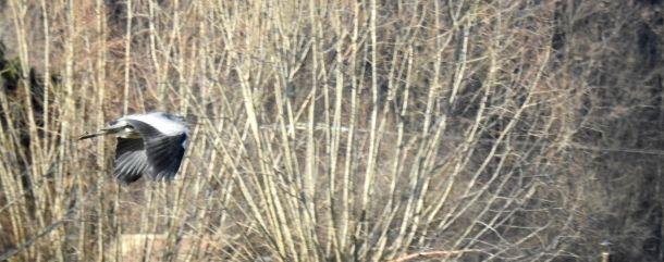Dans le champ près de la ferme, des hérons cendrés à la recherche de nourriture.