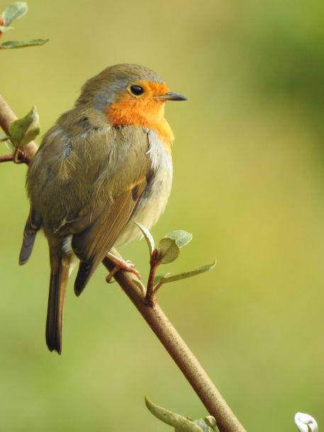 Quelques oiseaux visiteurs du lierre du jardin : rouge gorge, merle, sitelle torchepot.