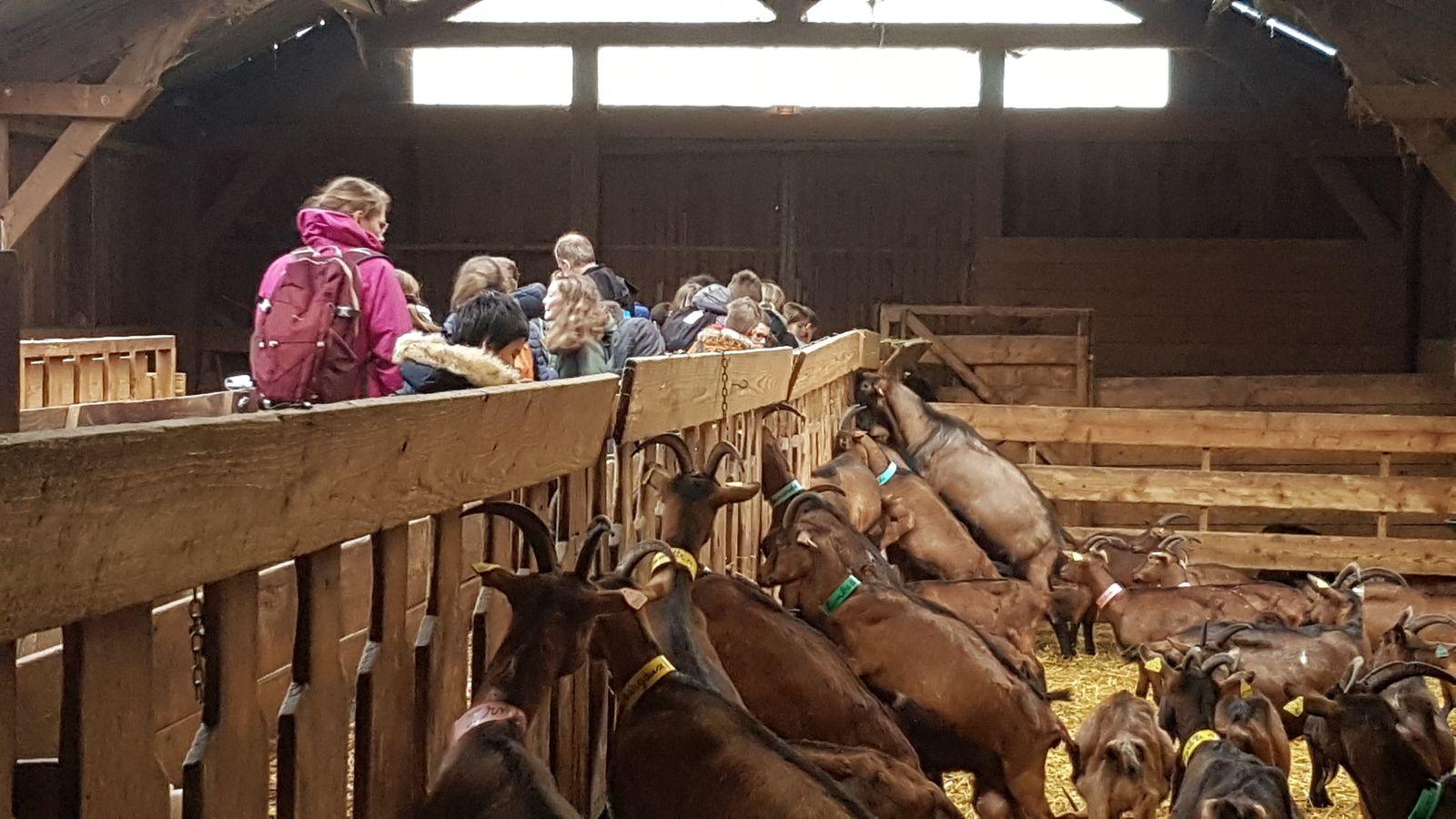 La visite de la chèvrerie