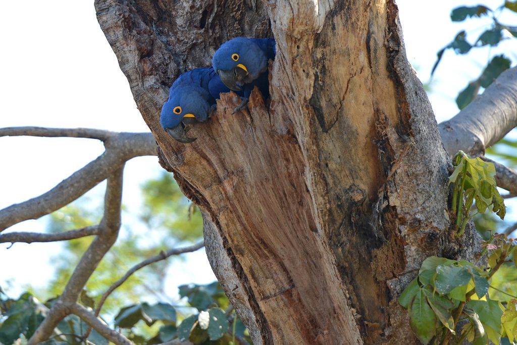 Par Geoff Gallice from Gainesville, FL, USA — Hyacinth macaws, CC BY 2.0, https://commons.wikimedia.org/w/index.php?curid=20068287