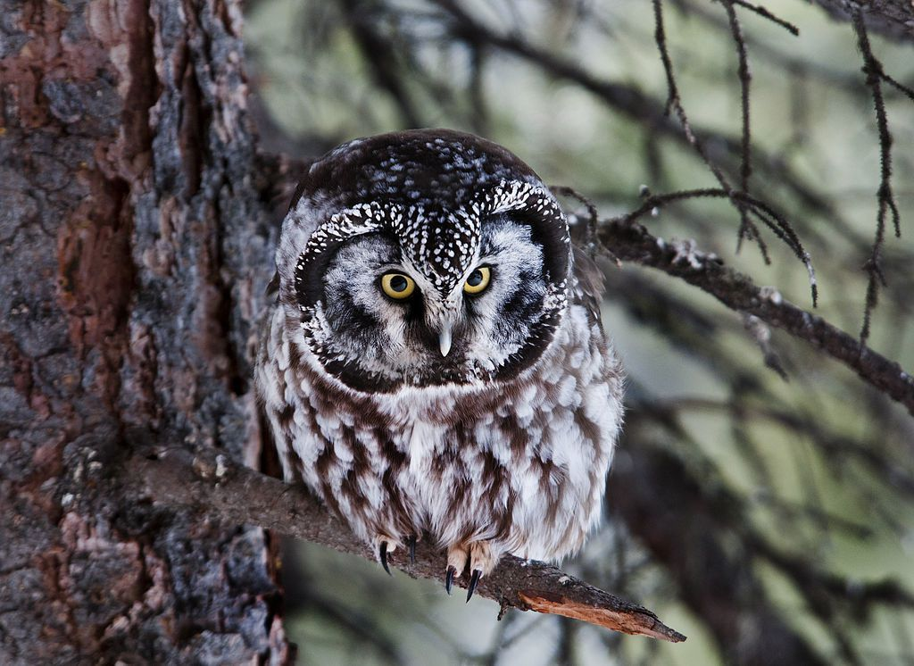 Par Denali National Park and Preserve — Boreal Owl- The look, Domaine public, https://commons.wikimedia.org/w/index.php?curid=19941161