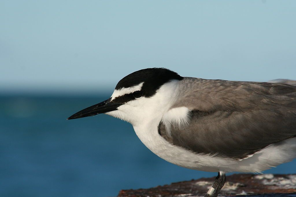 By Duncan Wright - USFWS Hawaiian Islands NWR, Public Domain, https://commons.wikimedia.org/w/index.php?curid=873146