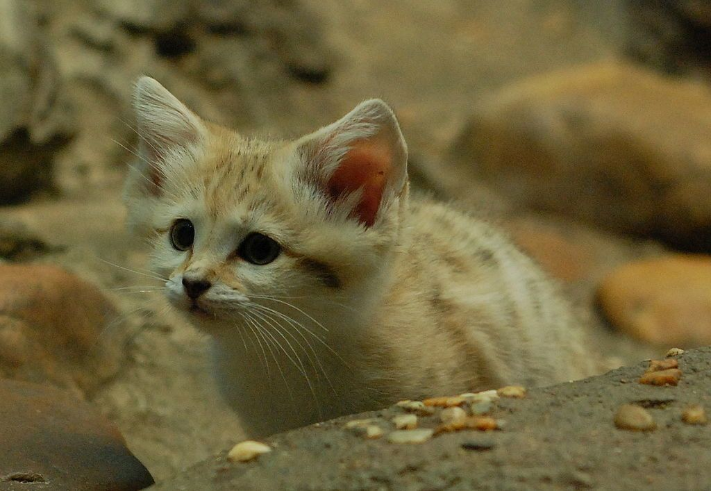 Par Charles Barilleaux from Cincinnati, Ohio, United States of America — Curious Arabian Sand Kitten, CC BY 2.0, https://commons.wikimedia.org/w/index.php?curid=9475532