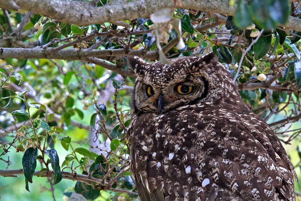 Par s9-4pr — Cape Eagle Owl, Kirstenbosch, Cape Town, CC BY 2.0, https://commons.wikimedia.org/w/index.php?curid=35742159
