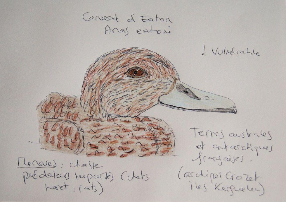 Le canard d'Eaton