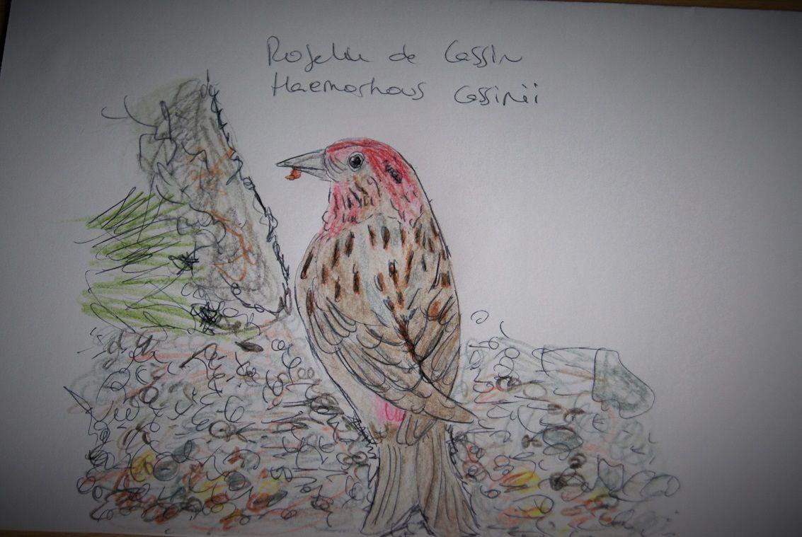 Le roselin de Cassin