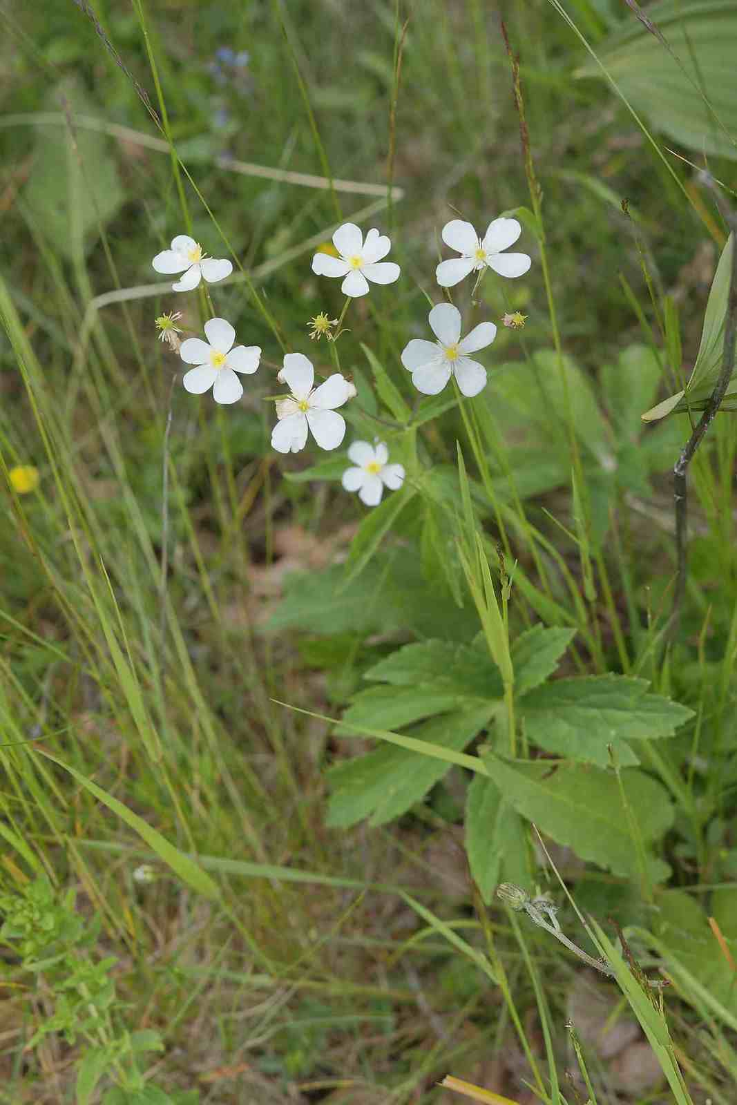 Ranunculus aconitifolius -