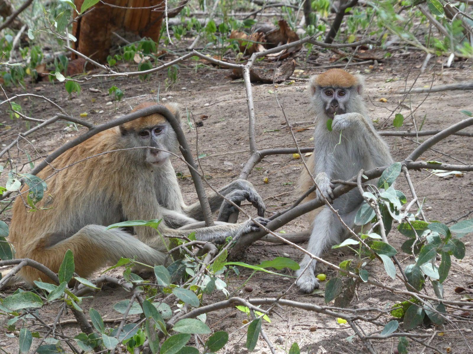Monkey families, Réserve de Bandia, Sénégal - Juillet 2017