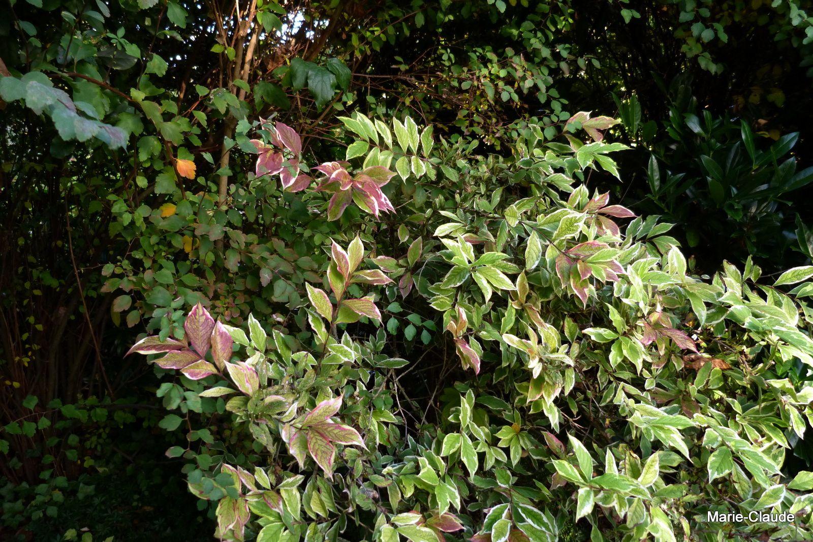 weigelia variegata