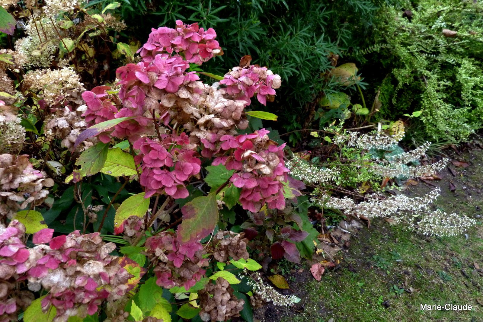 L'automne des Hydrangea,