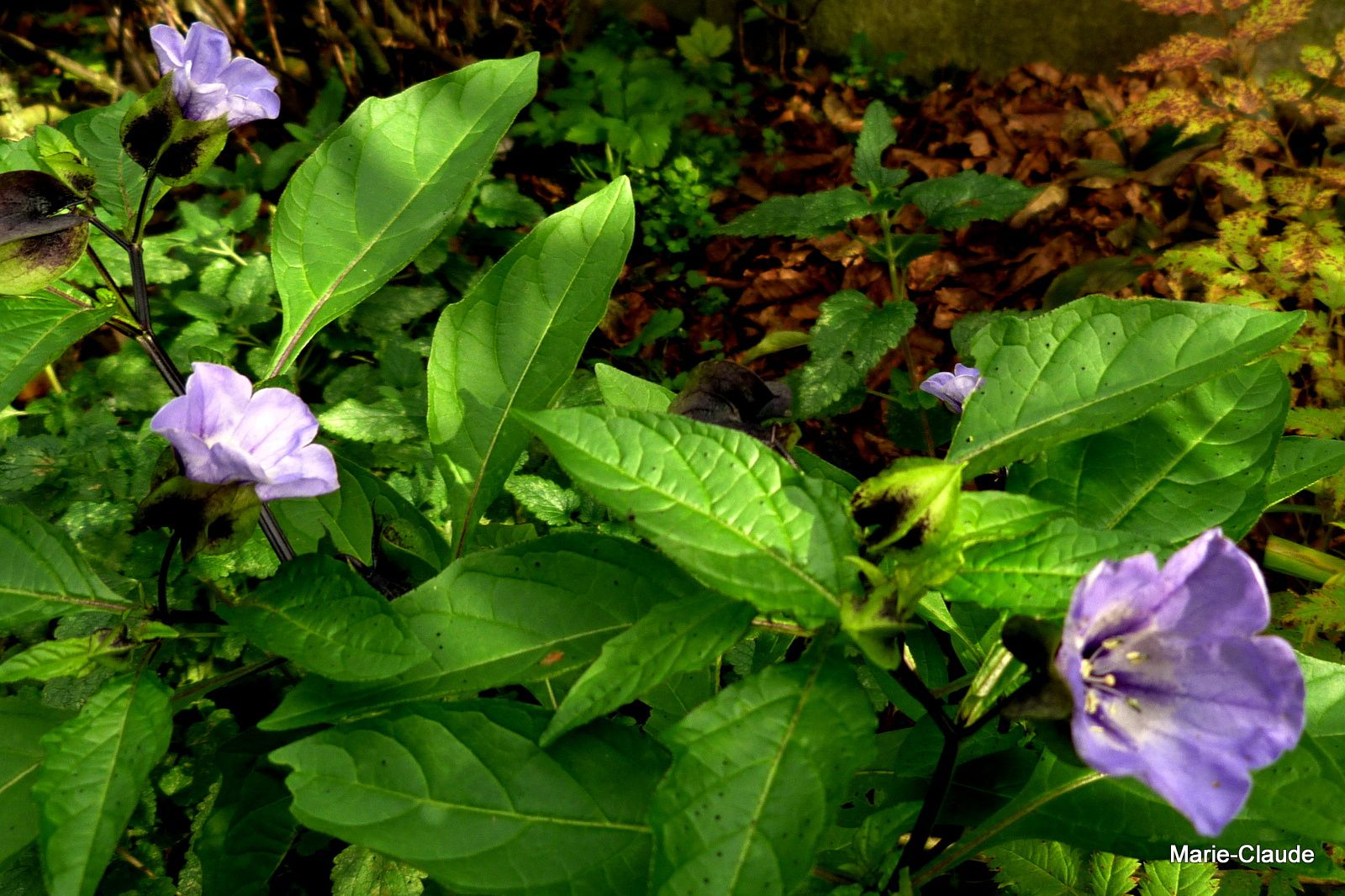 Un club des cinq fleurs bleues d'octobre,