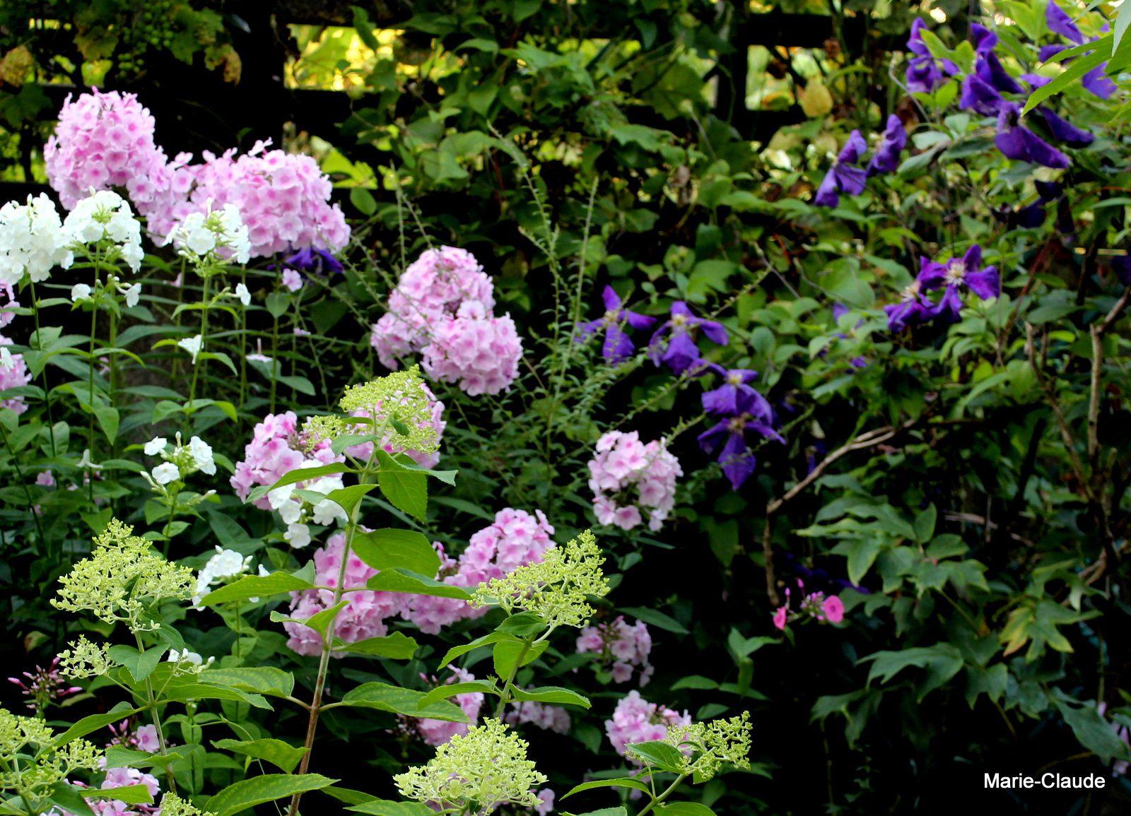 Phlox blancs, roses  et clématite violette