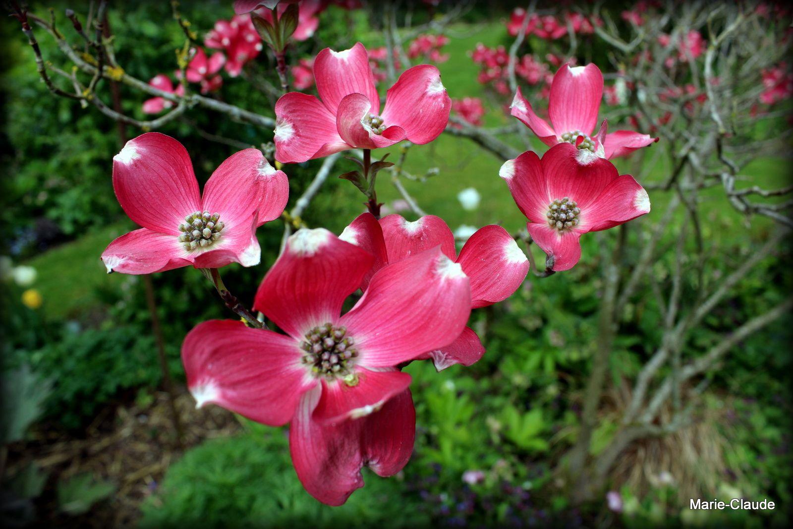 Cornus florida rubra,