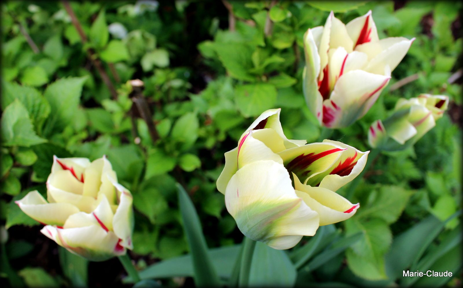 Tulipes  Flaming spring green ,