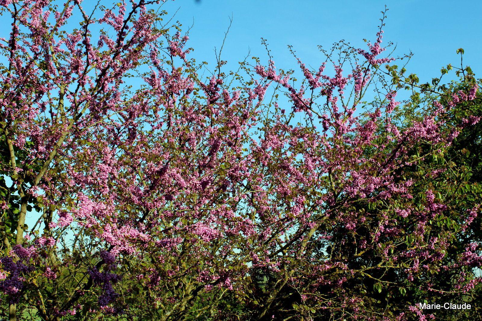 Floraison du Cercis siliquastrum,