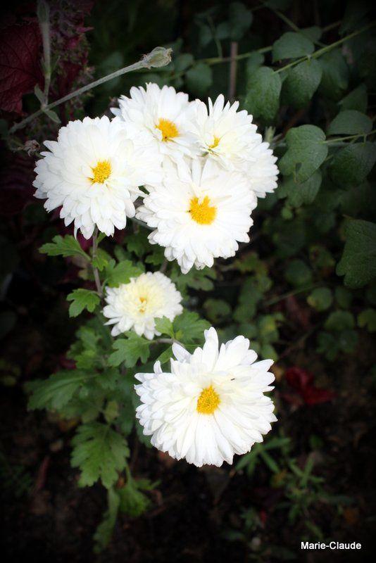 Comparatif deux Chrysanthèmes de jardin,