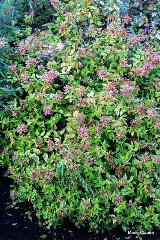 Quelques arbustes pour colorer l'hiver,