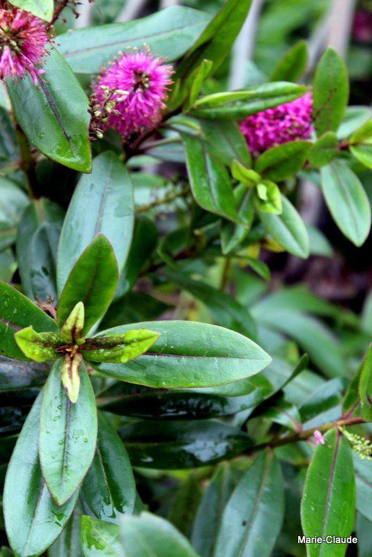 Arbustes persistants D , E, F, H