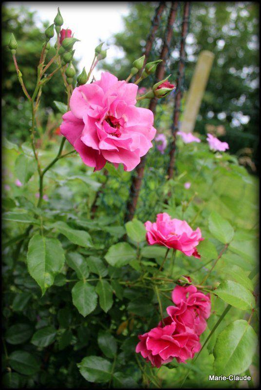 Un jeune rosier prometteur,