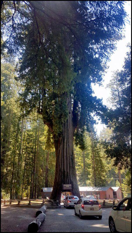 Au pays des Séquoias redwoods