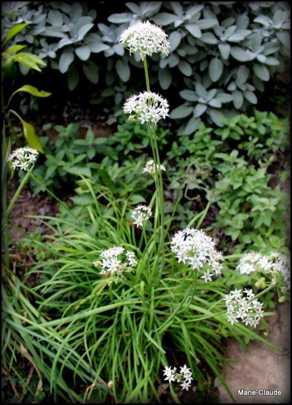 Focus sur l'Allium tuberosum,