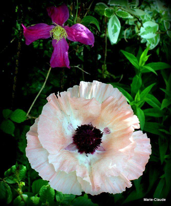 Florilège de pavots,