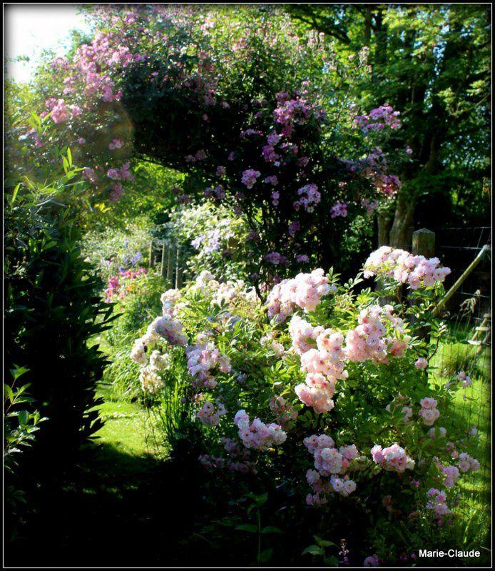 Au soleil avec pour fond d'image, le cascadant rosier Marietta SilvaTarouca