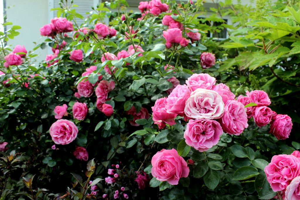 Top trois : rosiers,