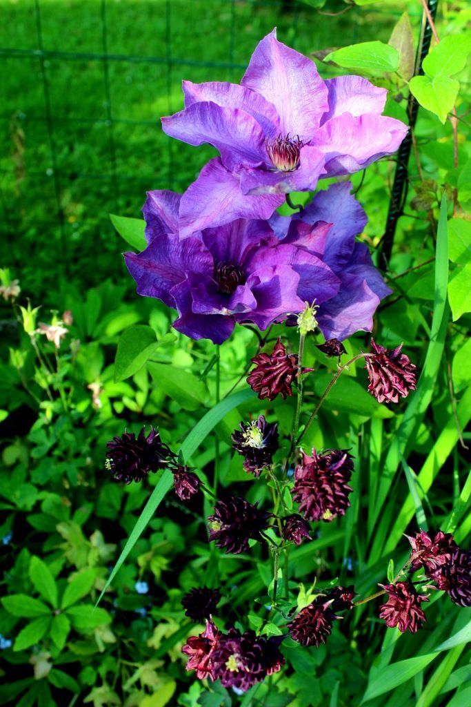 Iris et Aquilegia pourpre