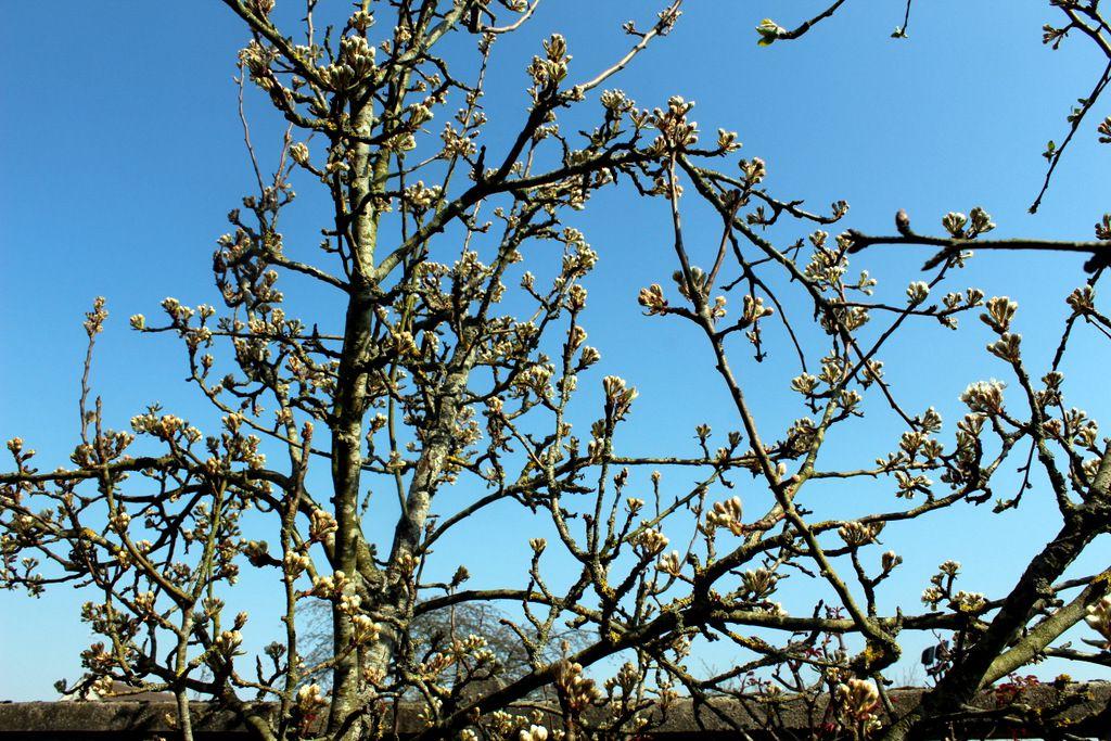 Le poirier presque en fleurs, attention petit poirier ne te presse pas, l'an dernier, tes fleurs ont gelé et nous ne nous sommes régalés d'aucun fruit ...