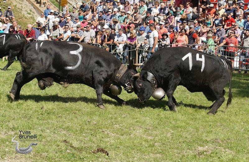 (3) BANDIT , 4ème des vaches légères a Livius Andres et (14) MALIBU de la famille Eyer.