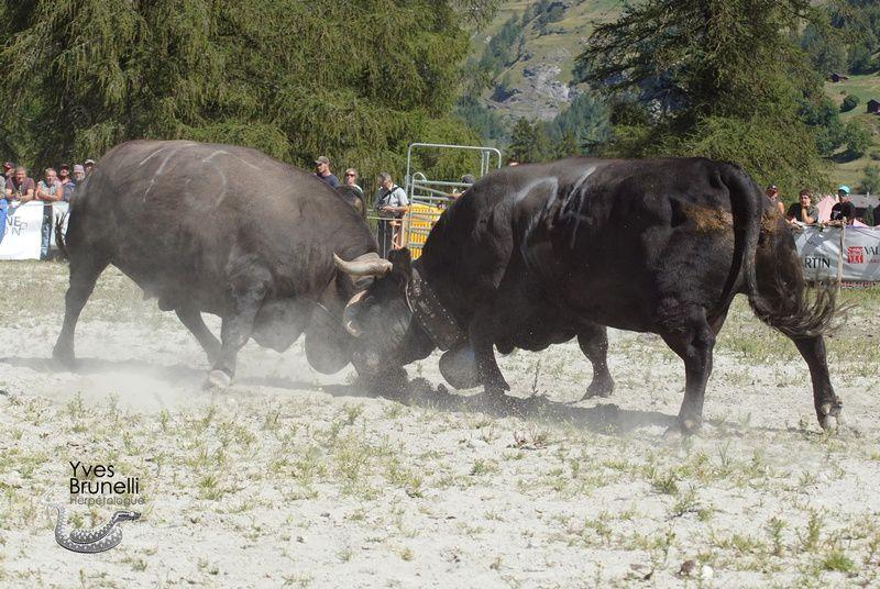 (15) BOBY , 3ème des vaches a Jean Forclaz et (24) BAYA de Robyr et fils