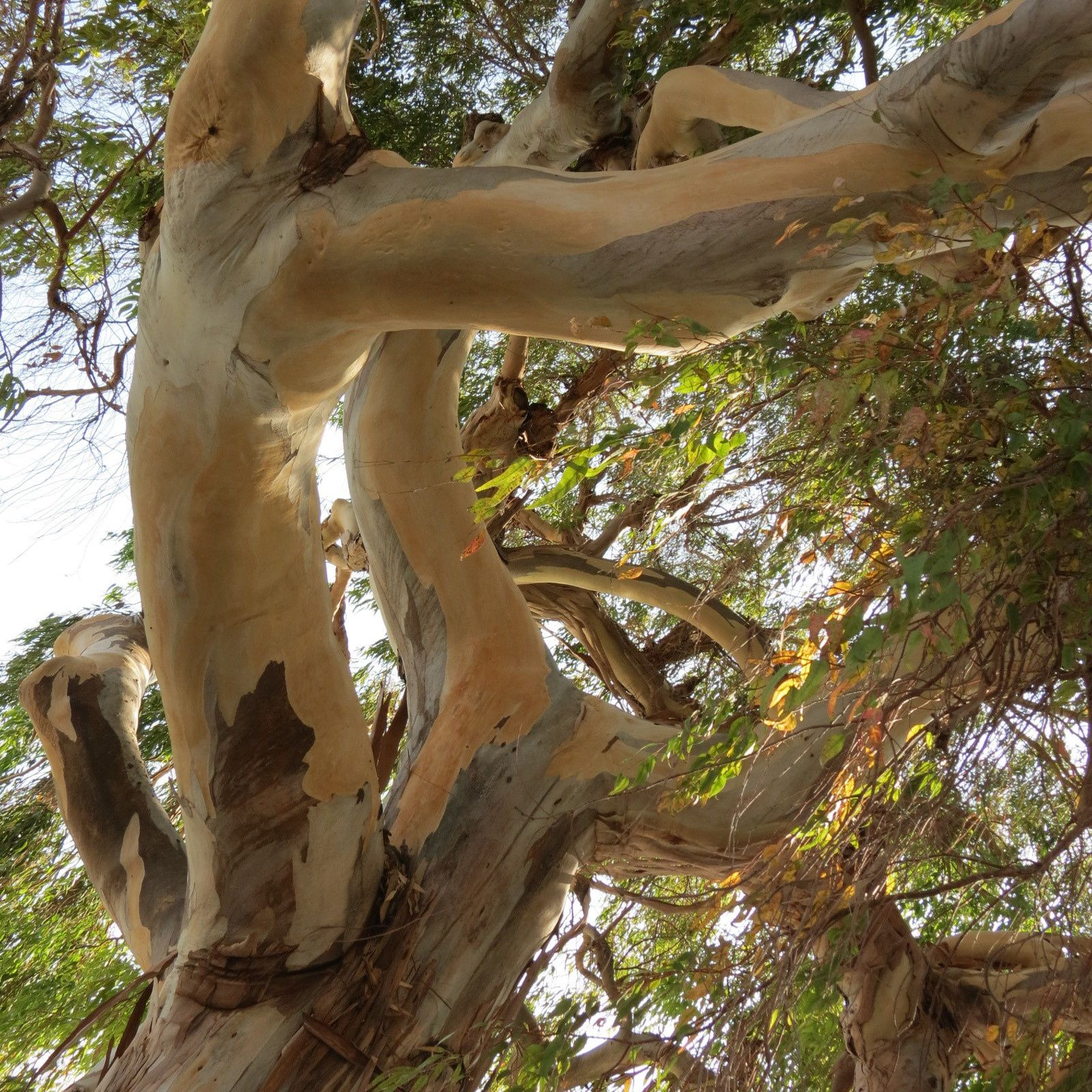 L'arbre à rêves.