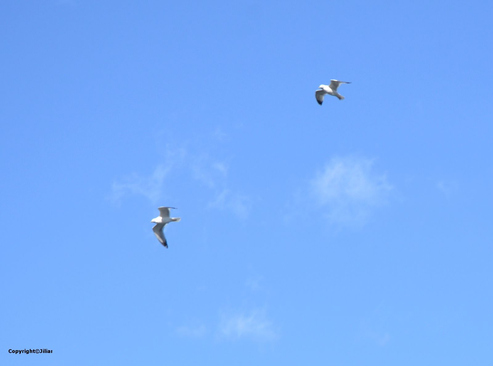 Beijing au temps du coronavirus : des mouettes en visite à Beijing - 冠状病毒时代的北京 - 海鸥来北京访问