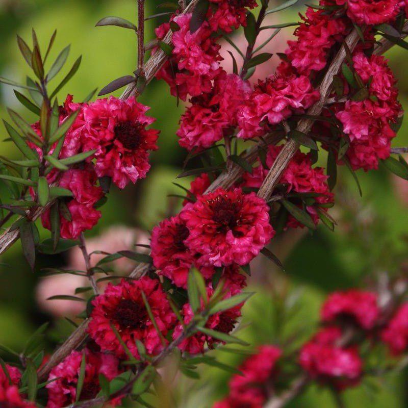 Leptospermum Scoparium double rouge