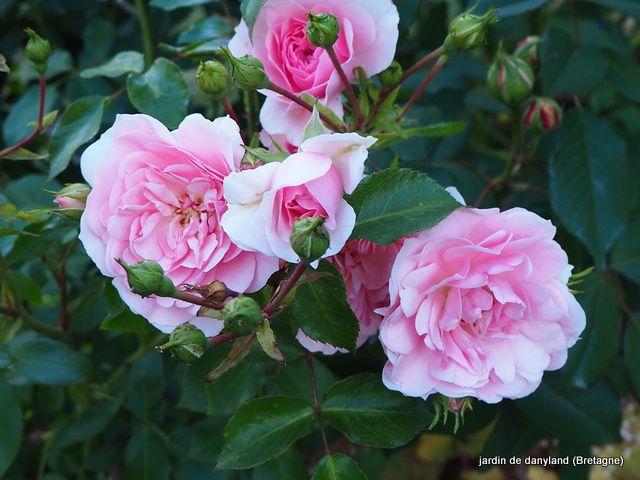 29 mai 2020 .... Profusion de roses