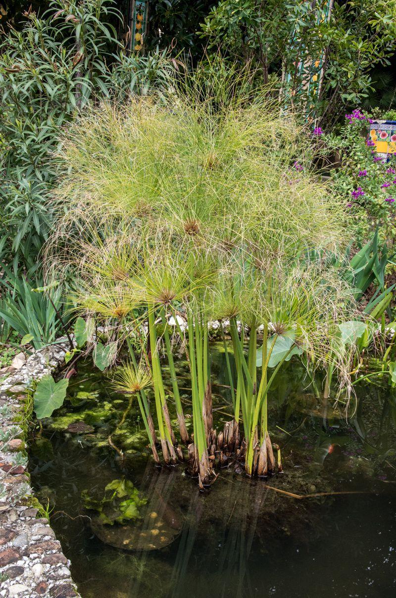 Une fleur est née à Fontana Rosa, dans un des bassins préférés de Vicente Blasco Ibañez
