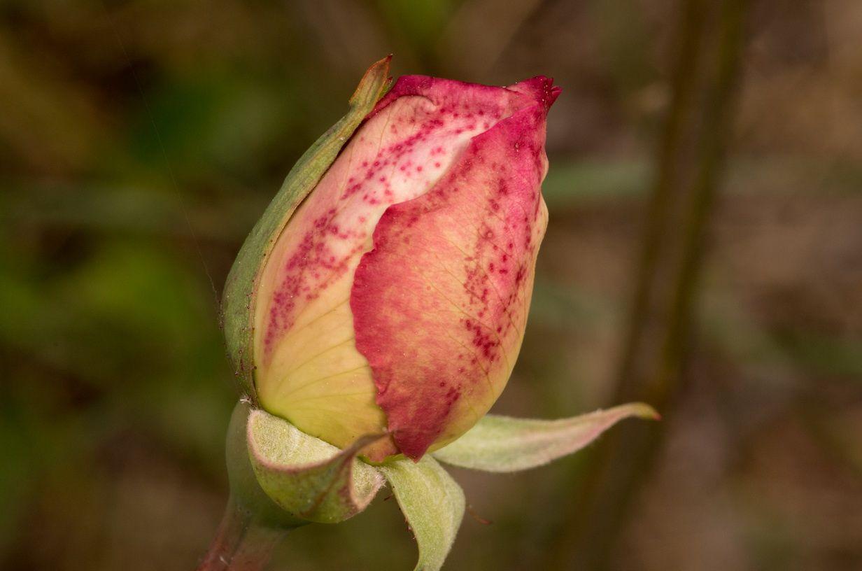 Le rosier de Vicente Blasco Ibañez