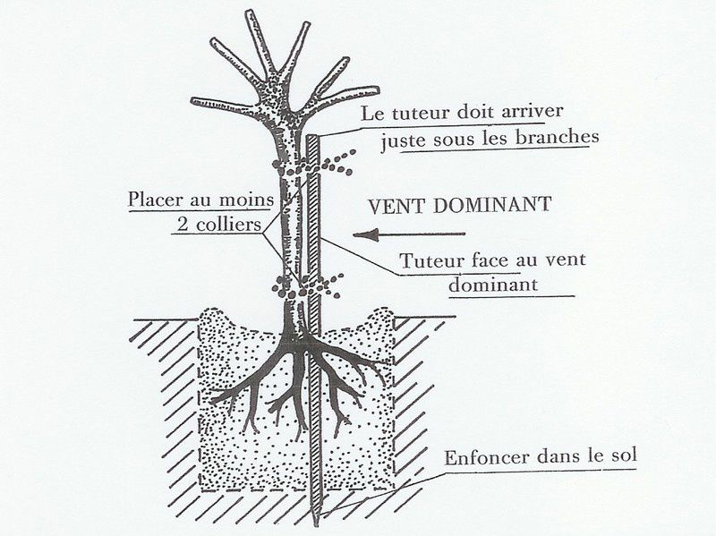 Tuteurage d'un arbre