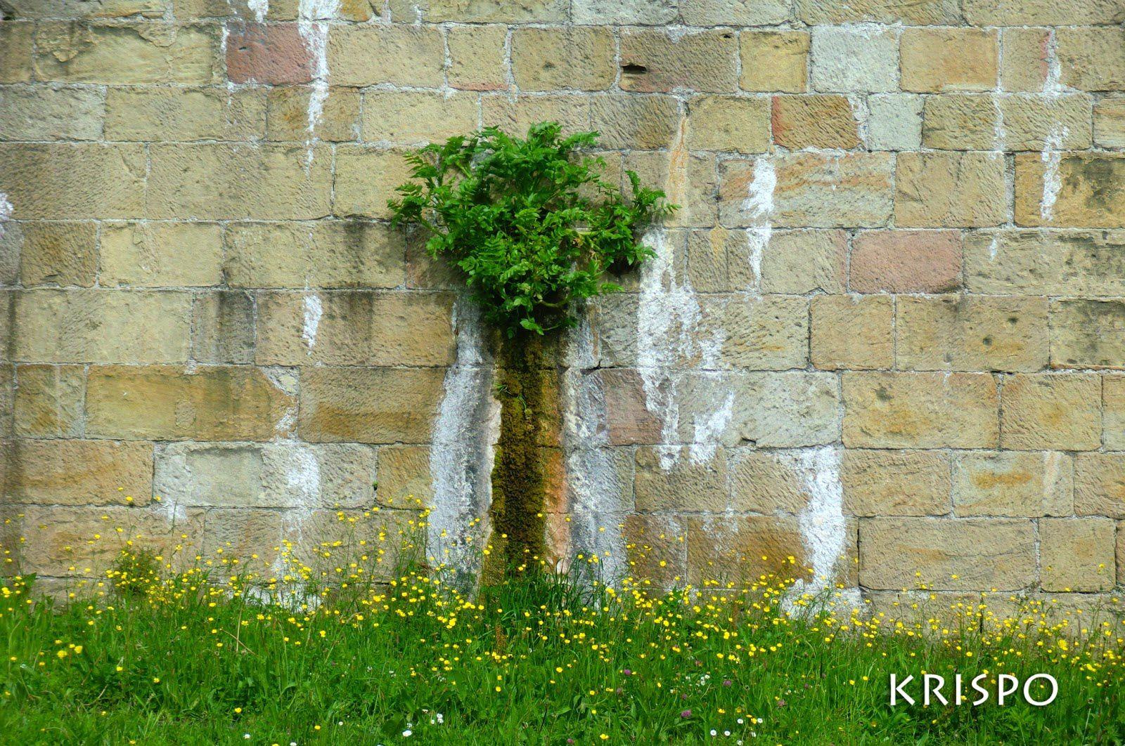 """""""De una herida de guerra en la muralla, ha nacido un árbol. Un árbol de hojas y agua."""" Source: IKUSI BATUSI, blog de la géniale photographe Krispo qui vit dans la ville portuaire navarraise de Hondarribia (Fontarrabie), au bord de la Bidassoa et de l'autre côté de Hendaye, dos aux Pyrénées et face à l'Océan atlantique: http://ikusibatusi.blogspot.fr/2013/05/arte-natural-arbol-muralla-hondarribia.html"""