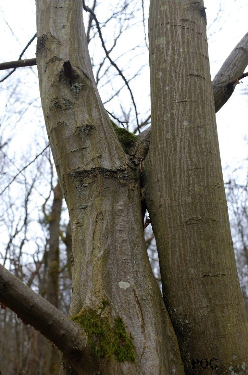 En haut, dans le creux de leurs branches, ils se donnent un baiser, un long baiser qui n'en finit plus... Photo: Pierre-Olivier Combelles