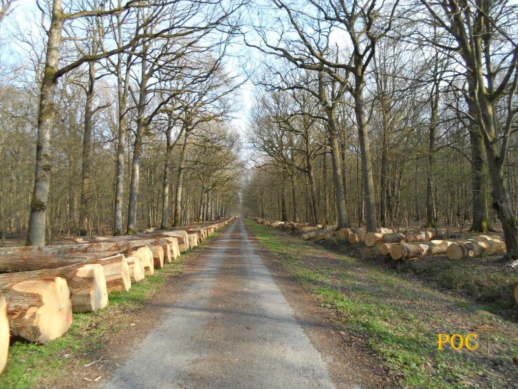 Des grumes de chênes alignées par centaines le long de la Route Goron, entre le Carrefour de Toulouse et la D 191. Photo; Pierre-Olivier Combelles, 26 mars 2017