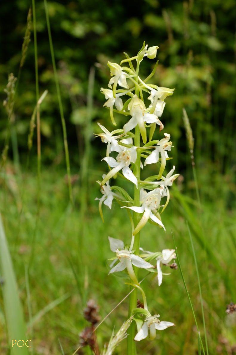 Les Belles de Mai: la Platanthère (Platanthera chlorantha, Orchidaceae) 2017