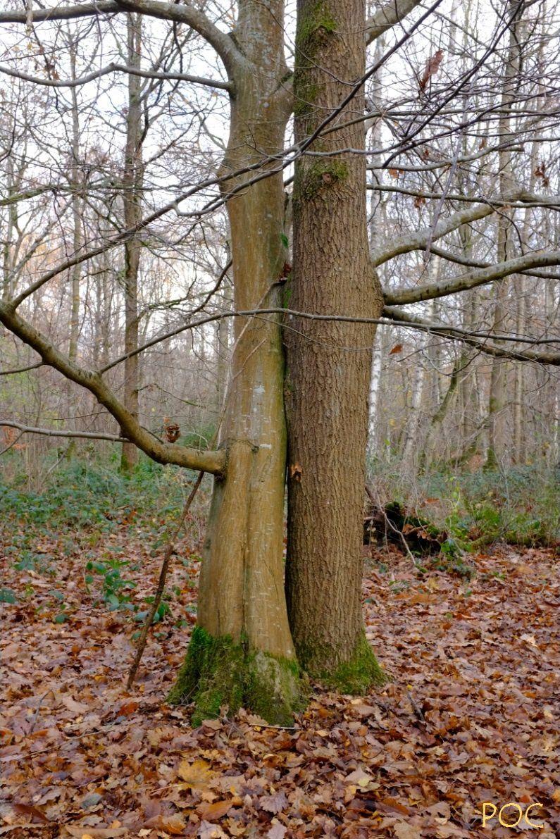 Dans la forêt du Basajaun, l'amour n'est pas un crime, mais une vertu. Un hêtre et un chêne enlacés. Le hêtre féminin à la douce écorce lisse, le chêne masculin au tronc rugueux. Le Yin et le Yang.